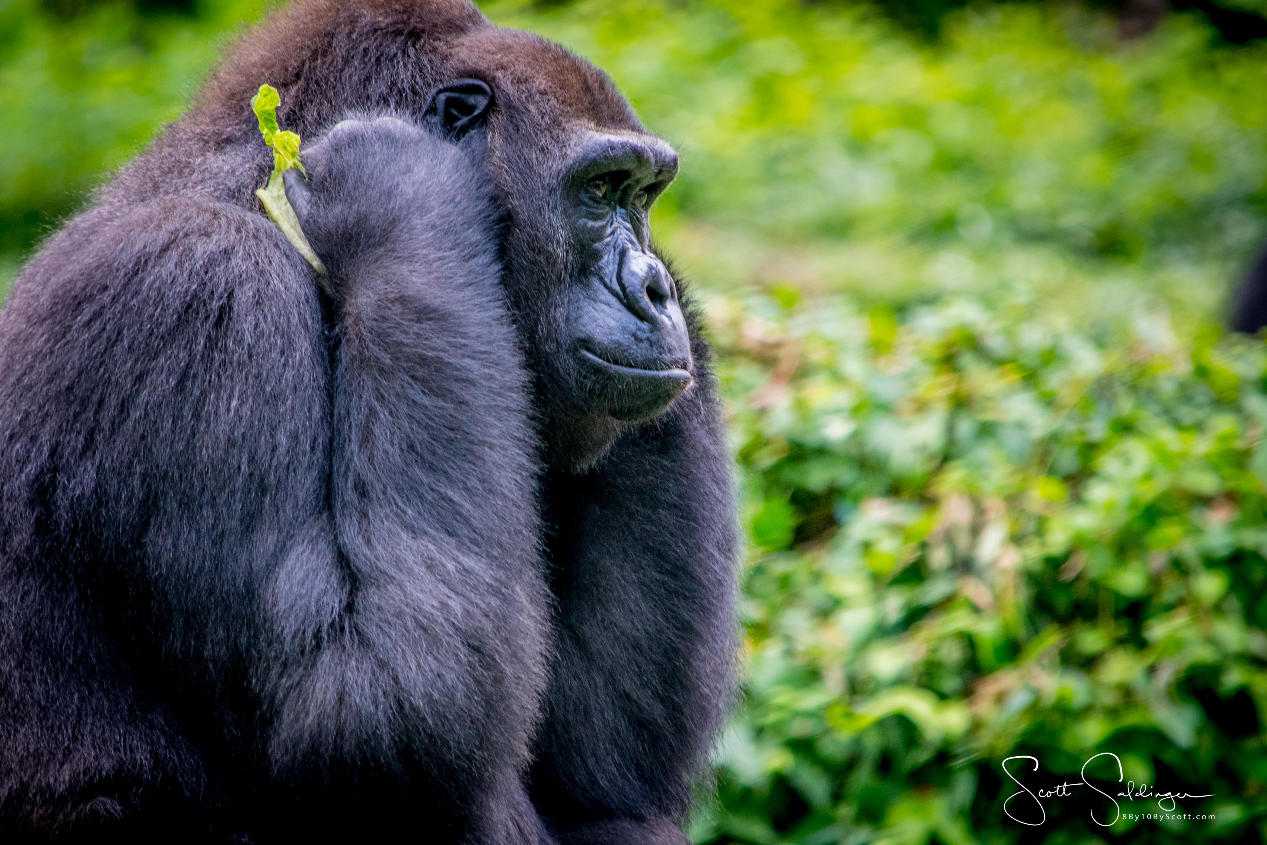 Apes-5299