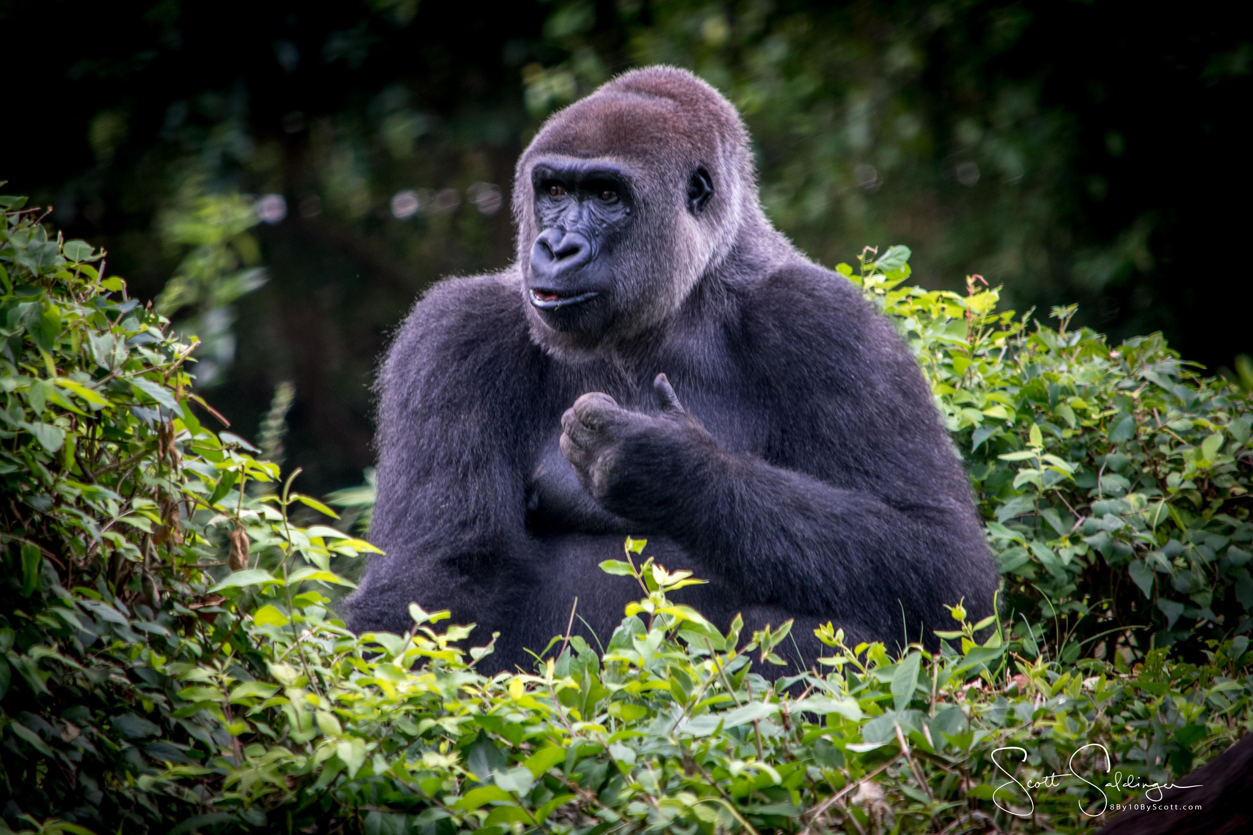 Apes-5398