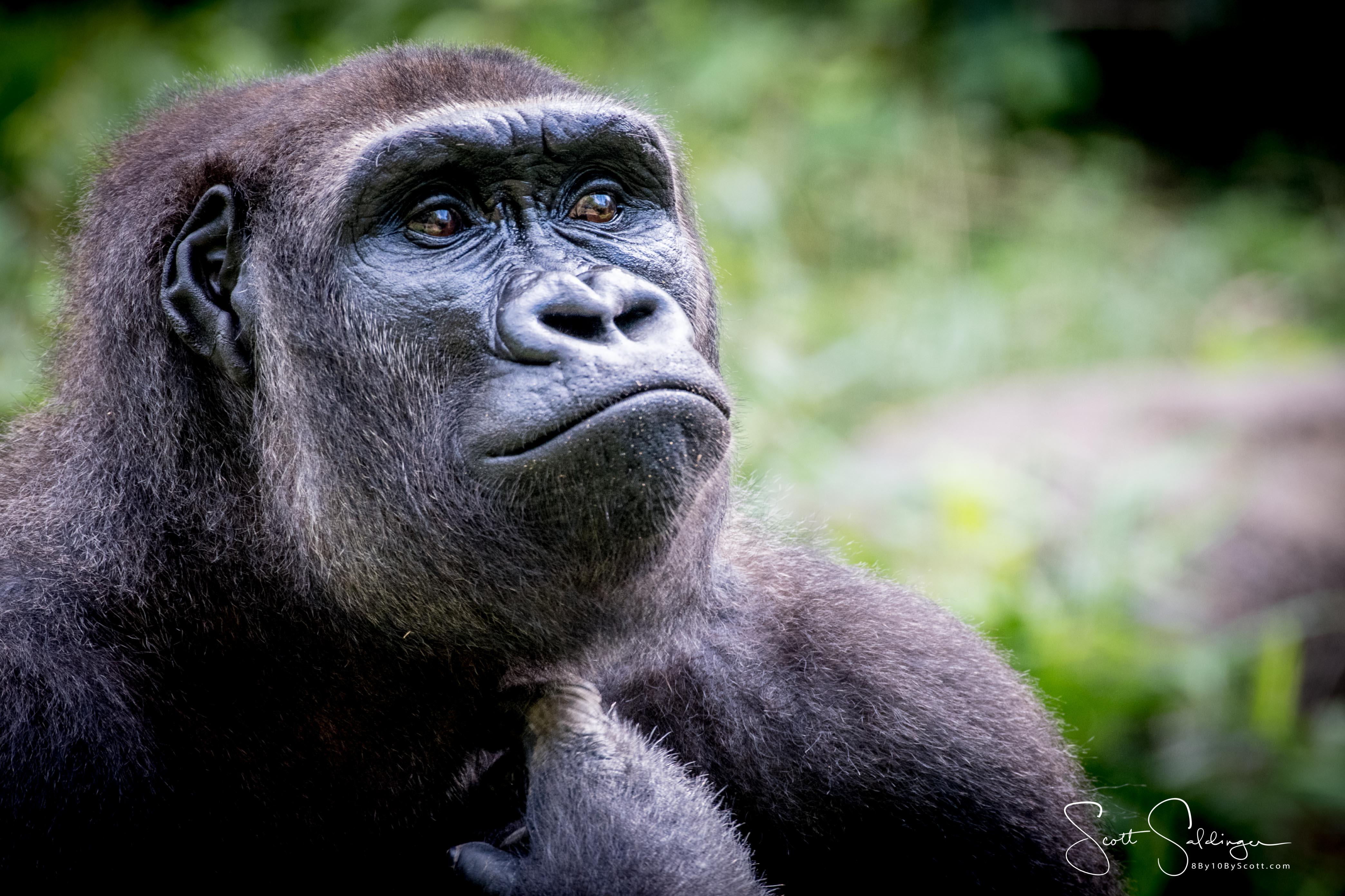 Apes-5563