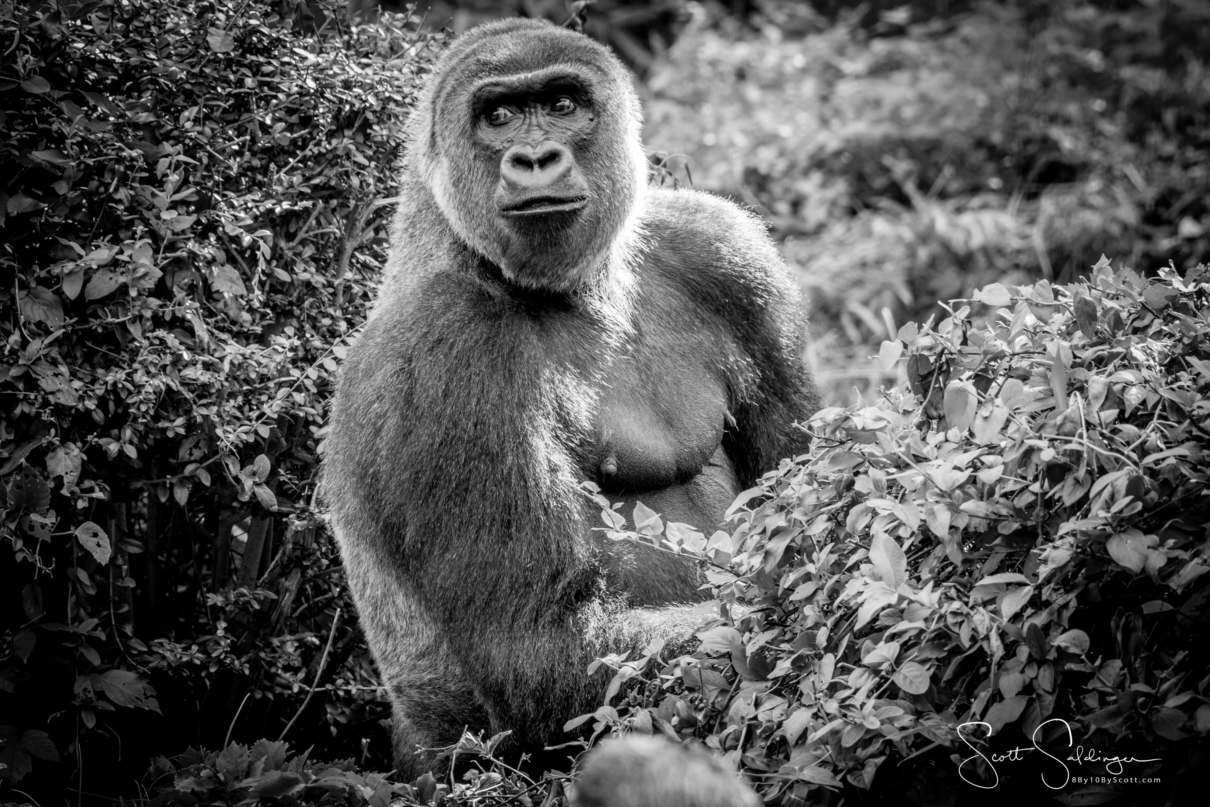 Apes-5603