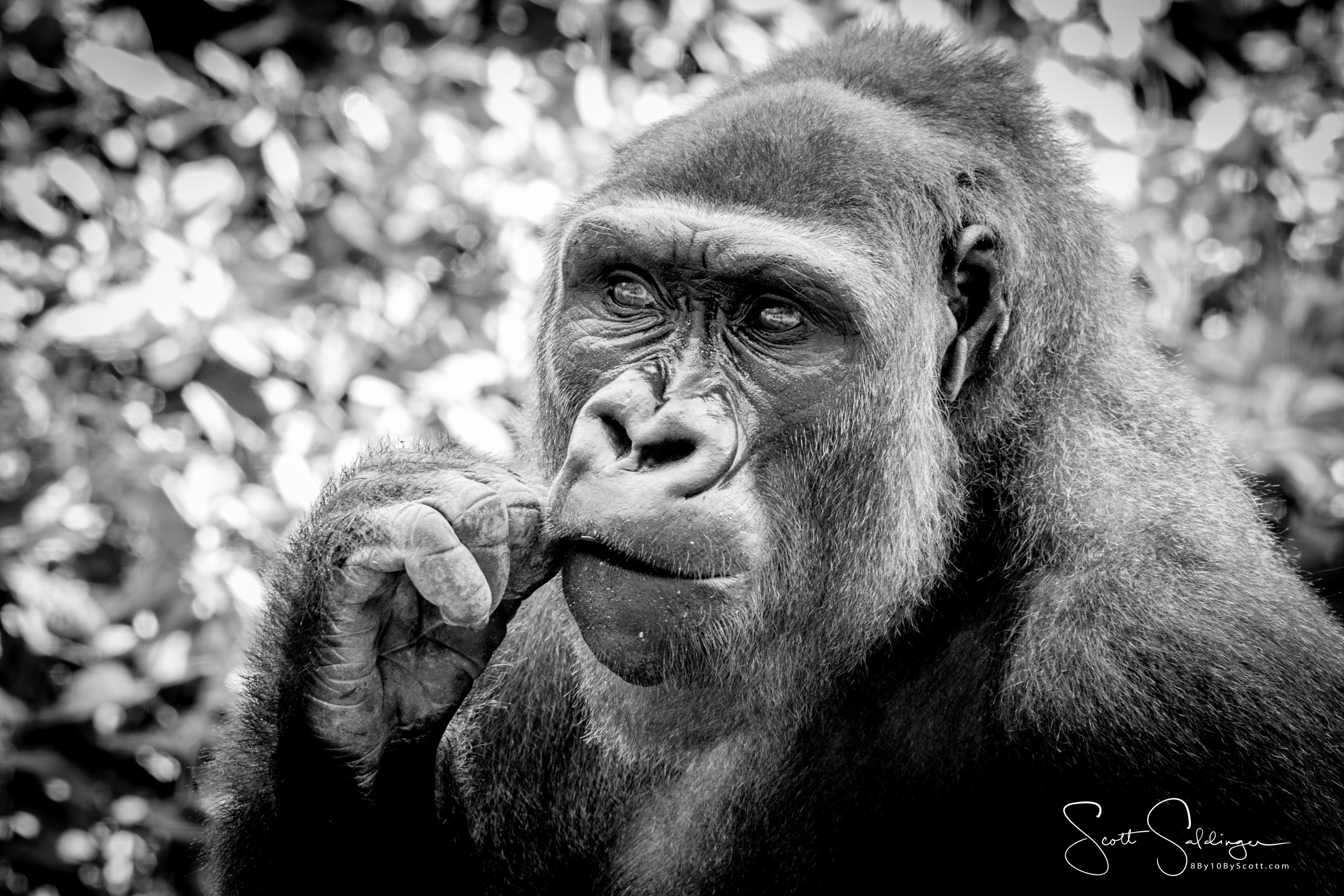 Apes-5640