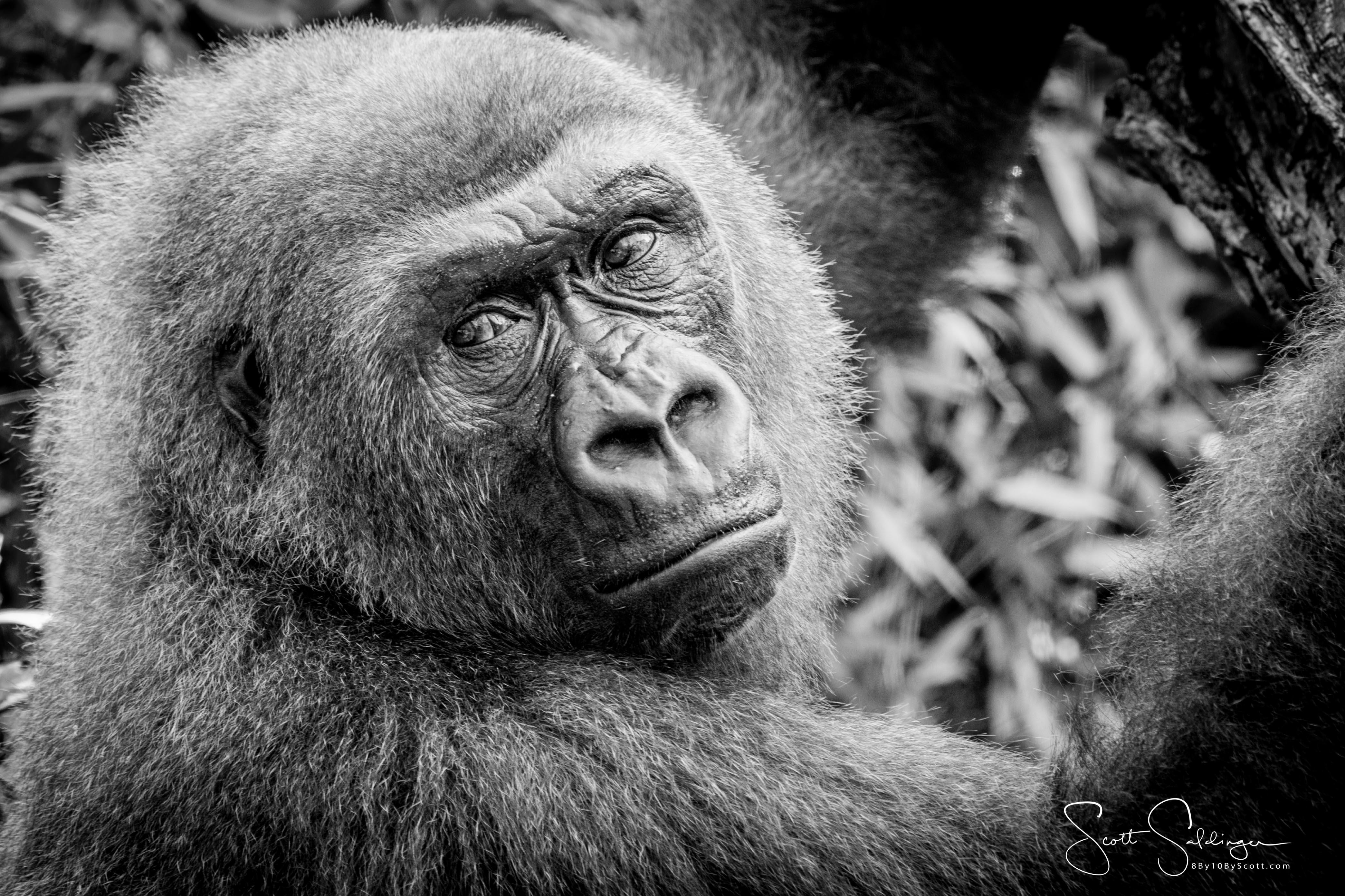 Apes-5828