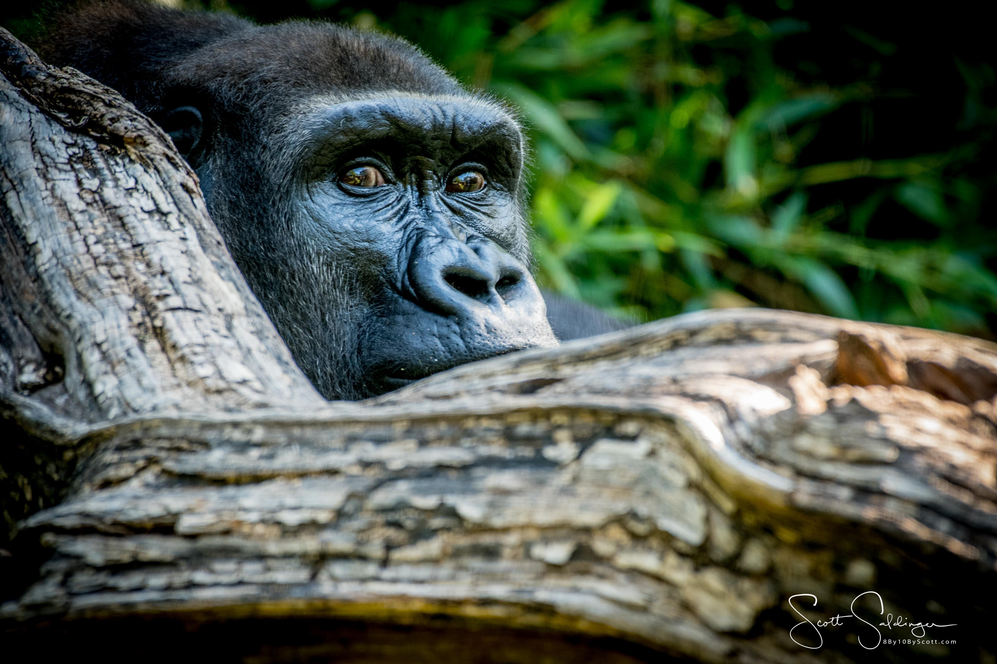 Apes-5844