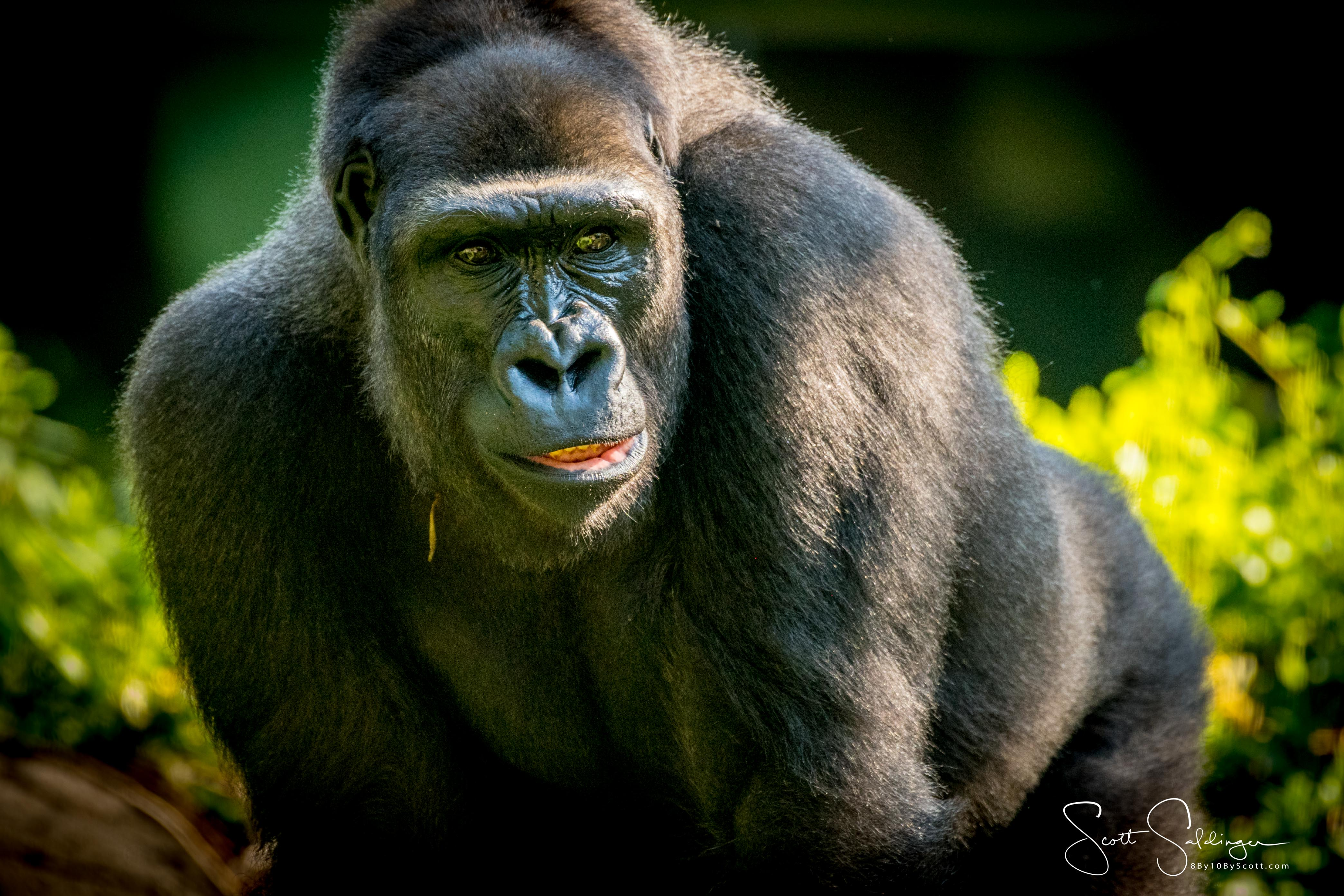 Apes-5908