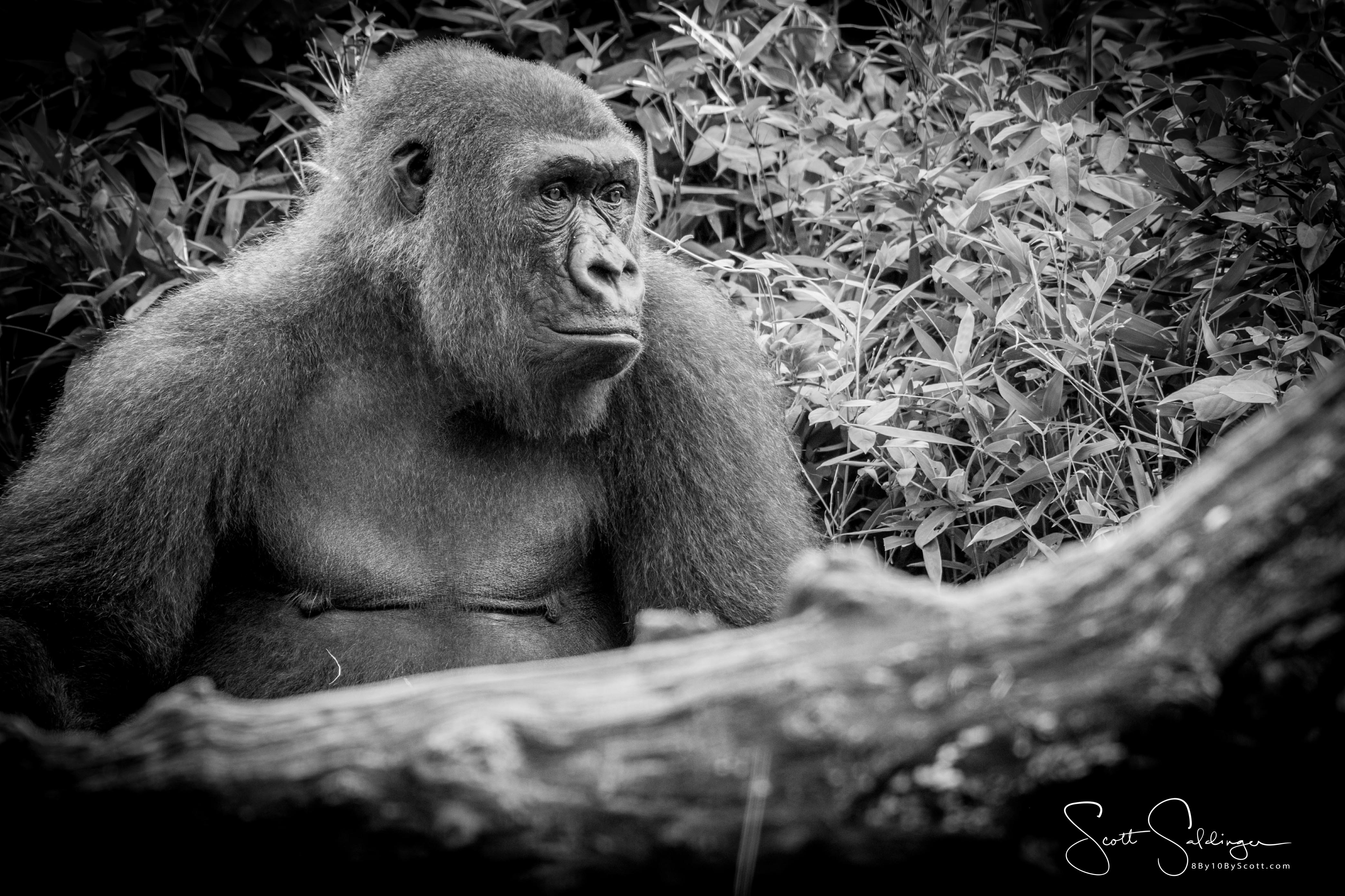 Apes-5920