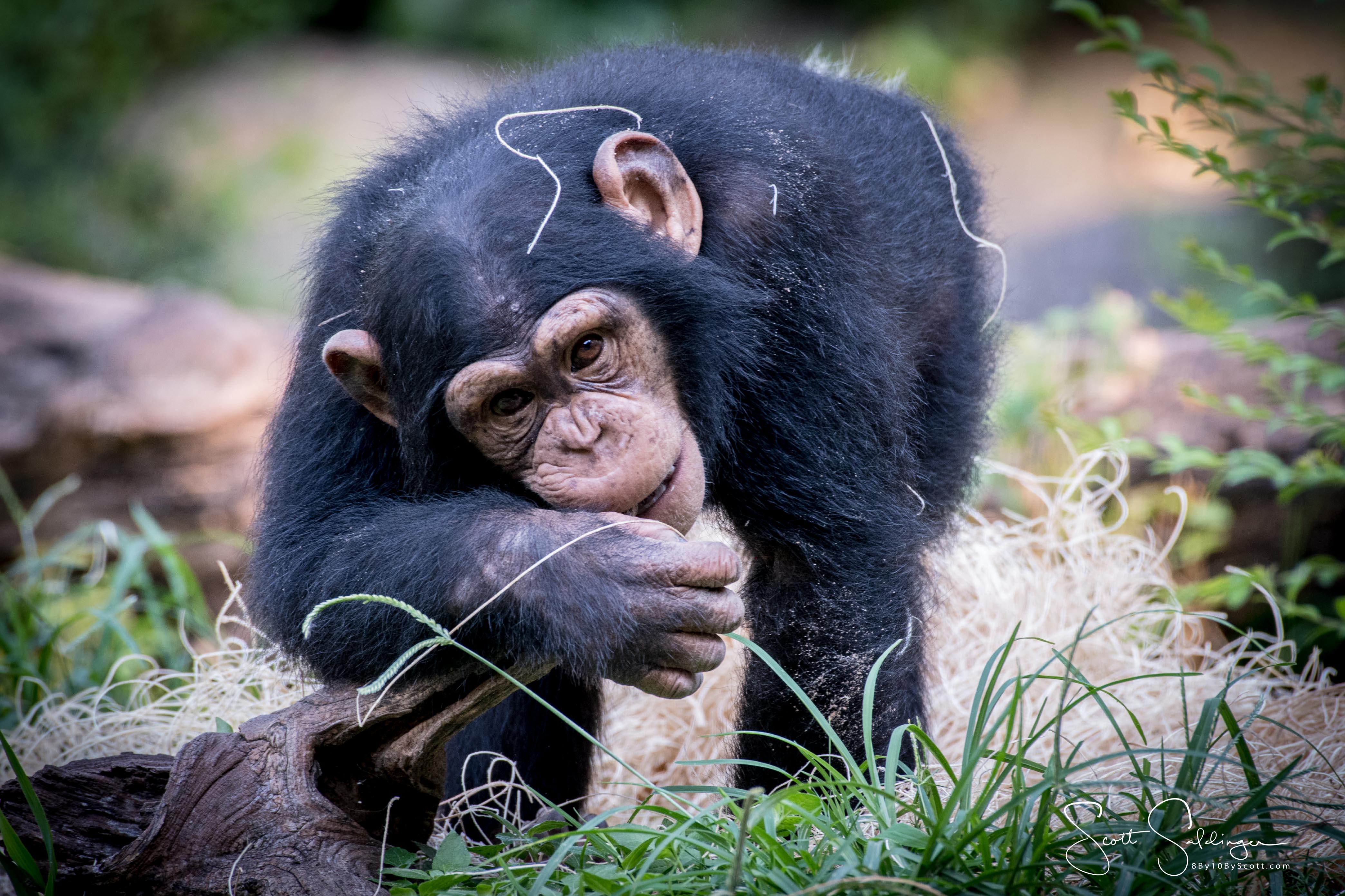 Apes-6262