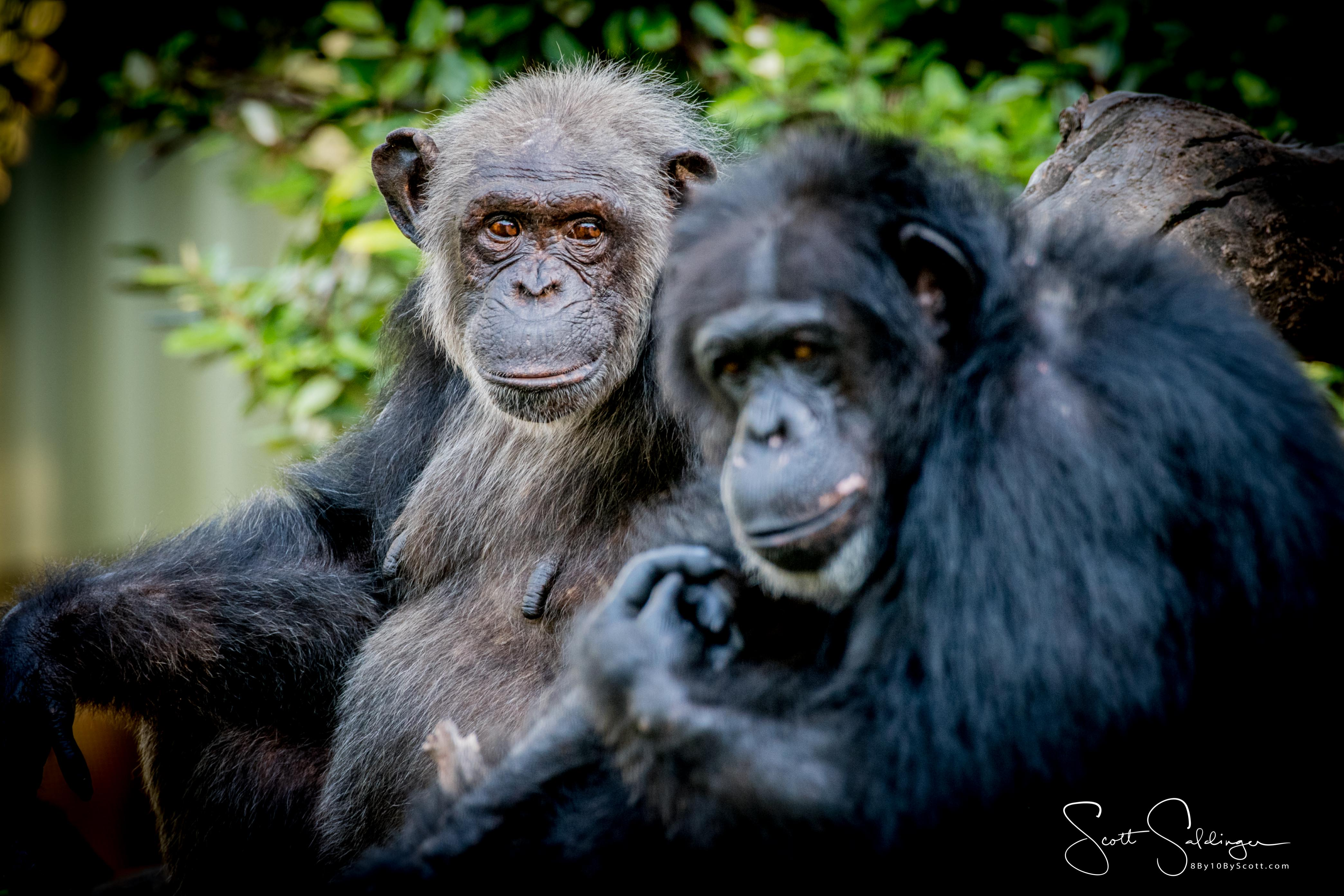 Apes-6335