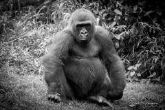 Apes-4910
