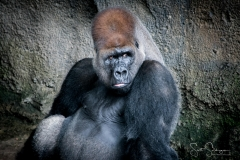 Apes-4995