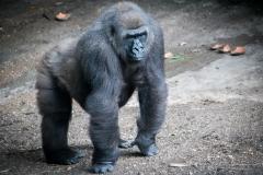 Apes-5005