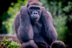 Apes-5389
