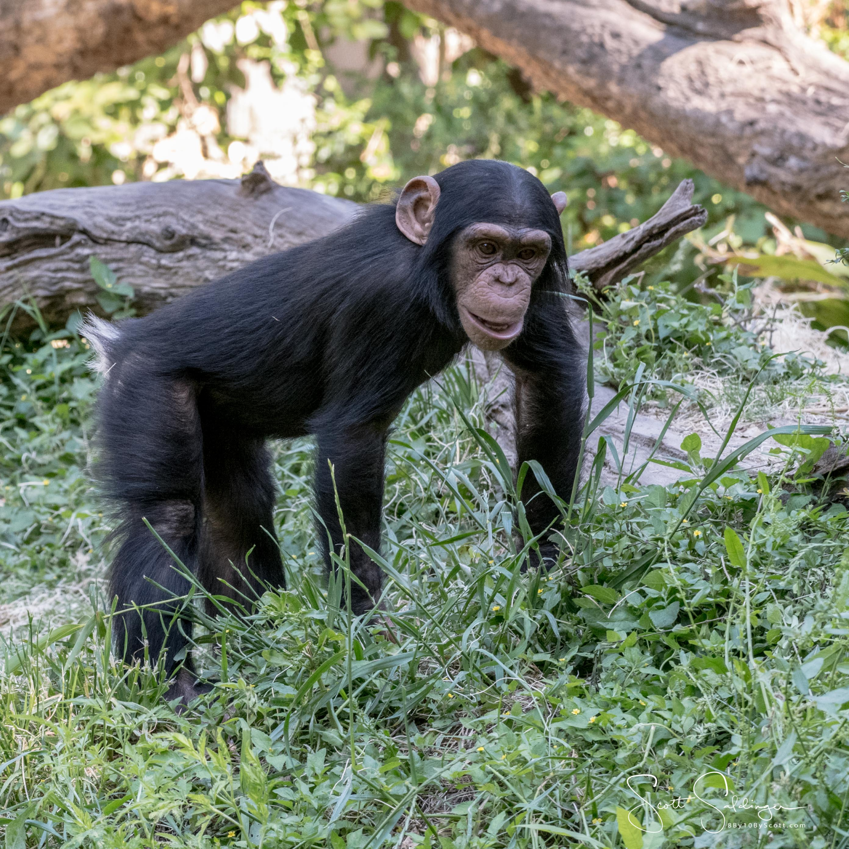 Chimps5617-2335