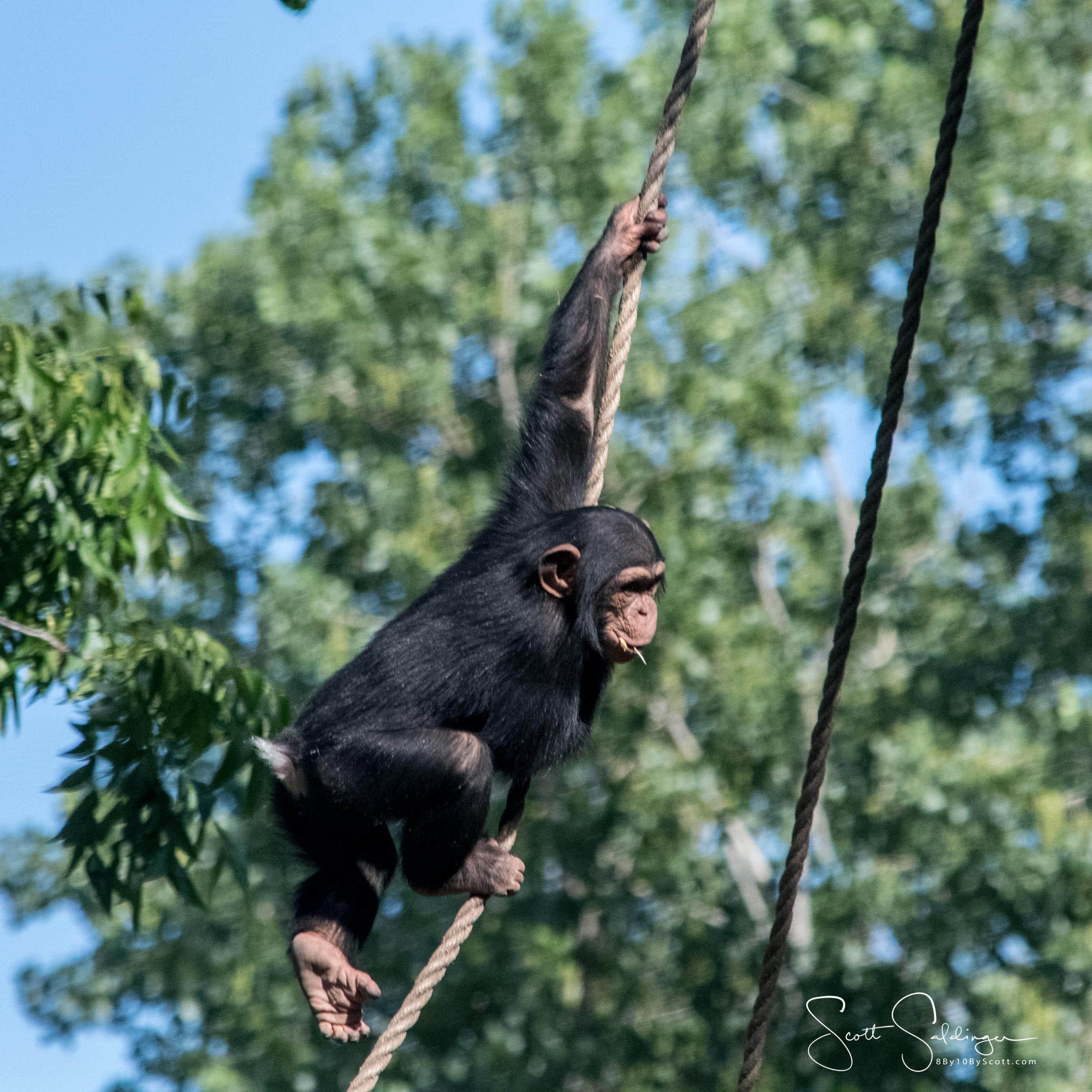 Chimps5617-2658
