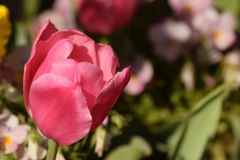 Red_Tulip_SQ