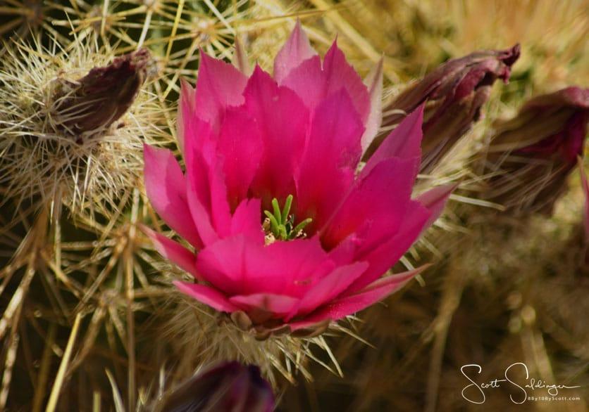 Red_Cactus_Flower